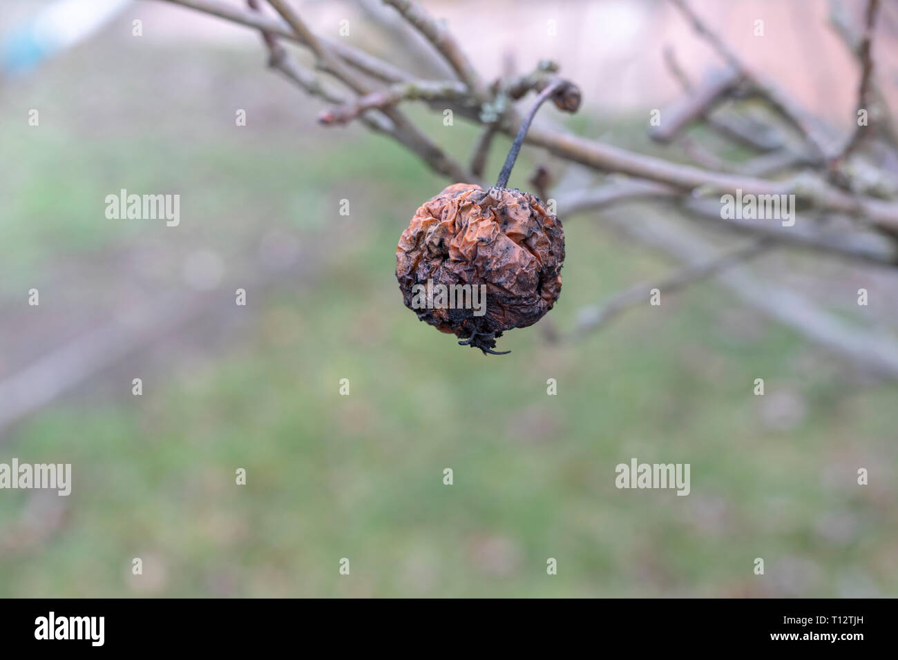 Plant diseases. Monilinia fructigena. Infected apples grow in the tree branch with typical signs of disease - Stock Image