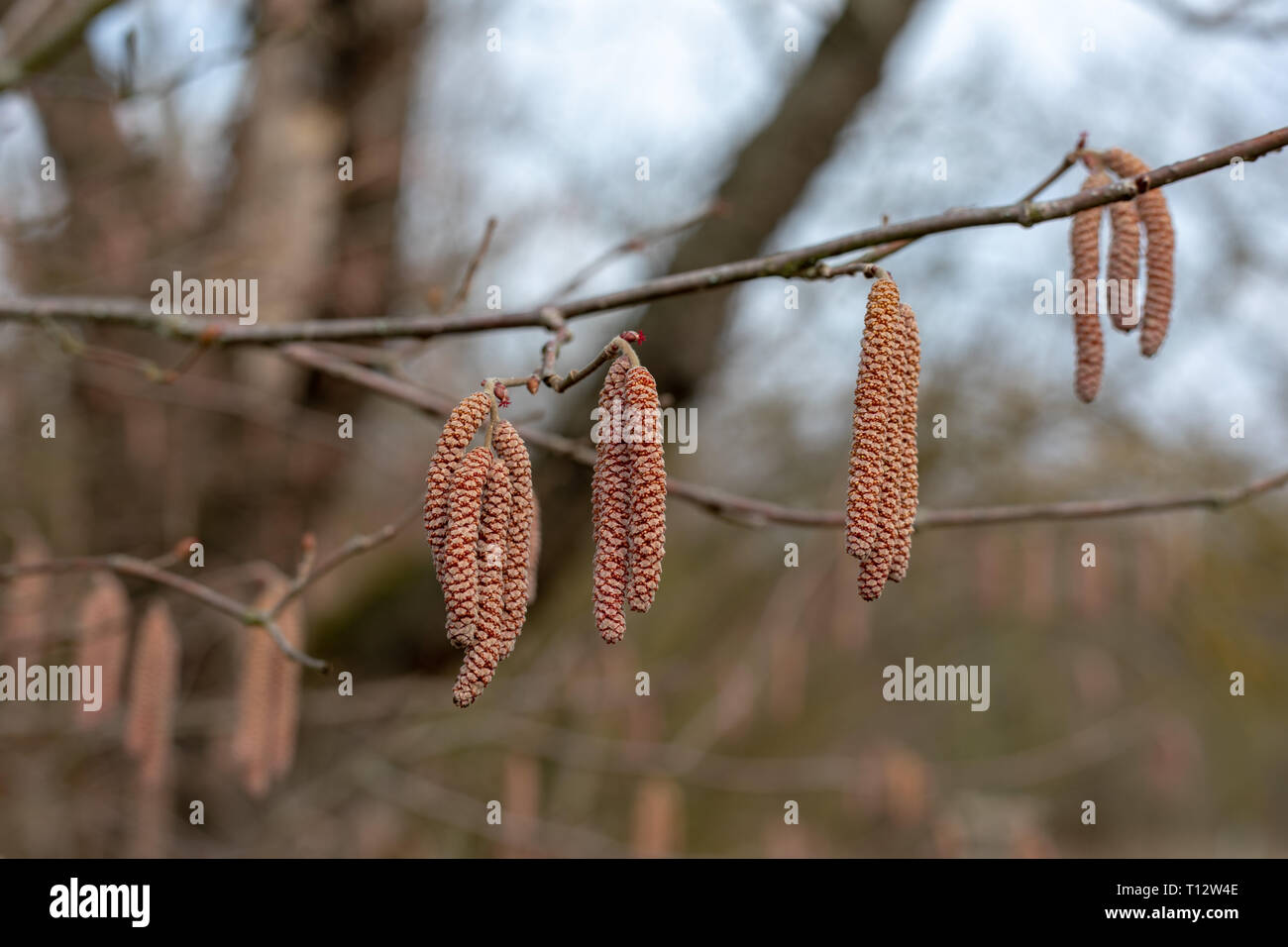 male catkins on a common hazel tree Latin corylus avellana from the birch family or betulaceae the fruit is the hazelnut in winter in the marshes or p - Stock Image
