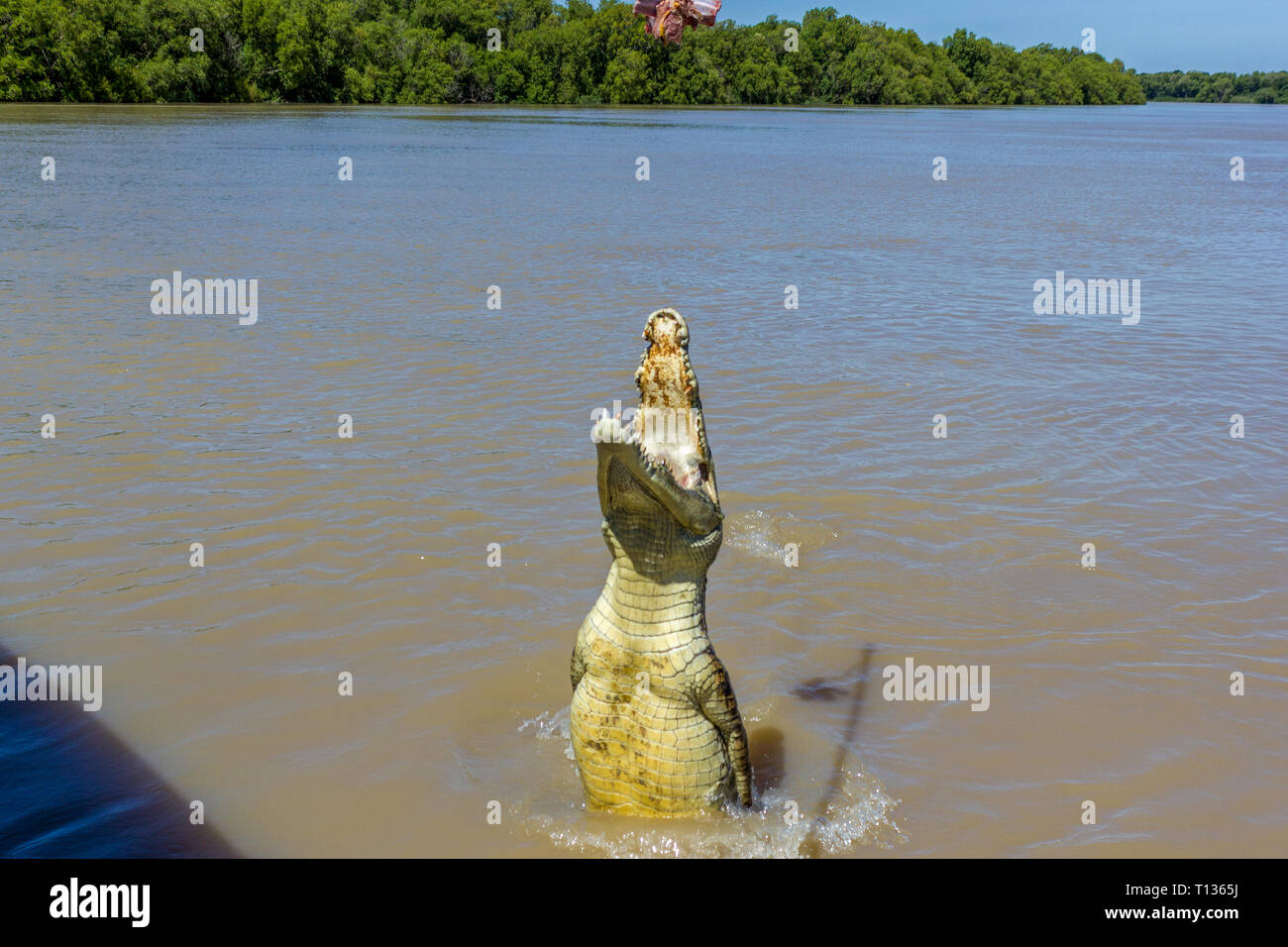 Jumping saltwater crocodile in Kakadu National Park in Australia's - Stock Image