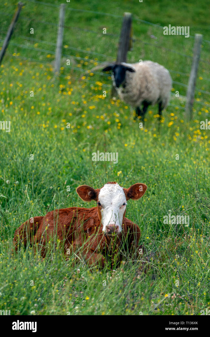 Portrait view of a resting calf in a green field with spring flowers, behind a black headed sheep watches. New Zealand. - Stock Image