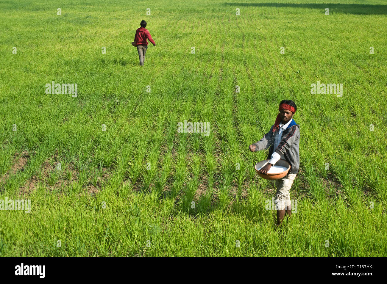 Farmers are applying chemical fertilizers in a wheat field ( India) - Stock Image