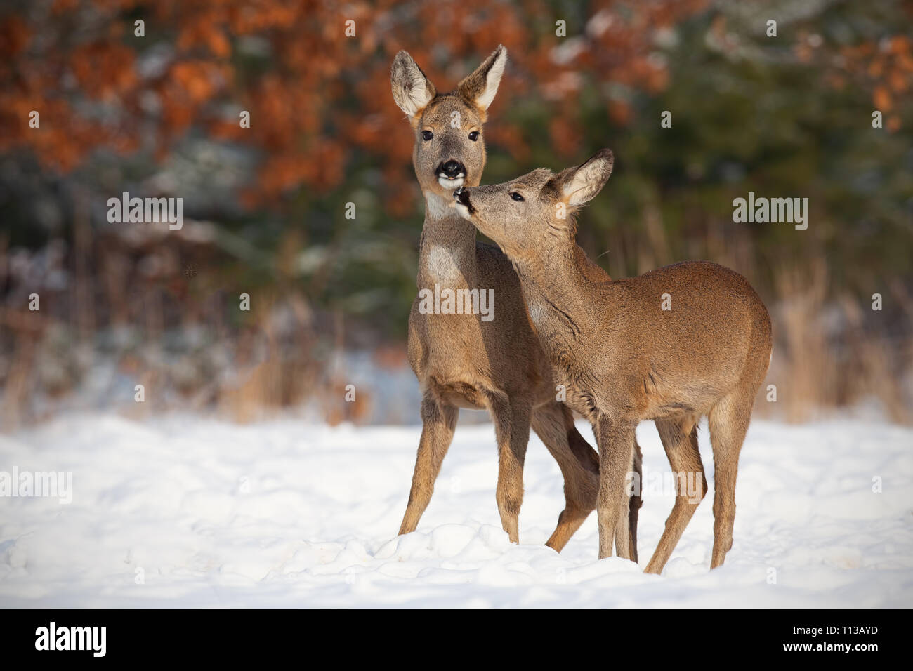 Mother and son roe deer, capreolus capreolus, in deep snow in winter kissing. - Stock Image