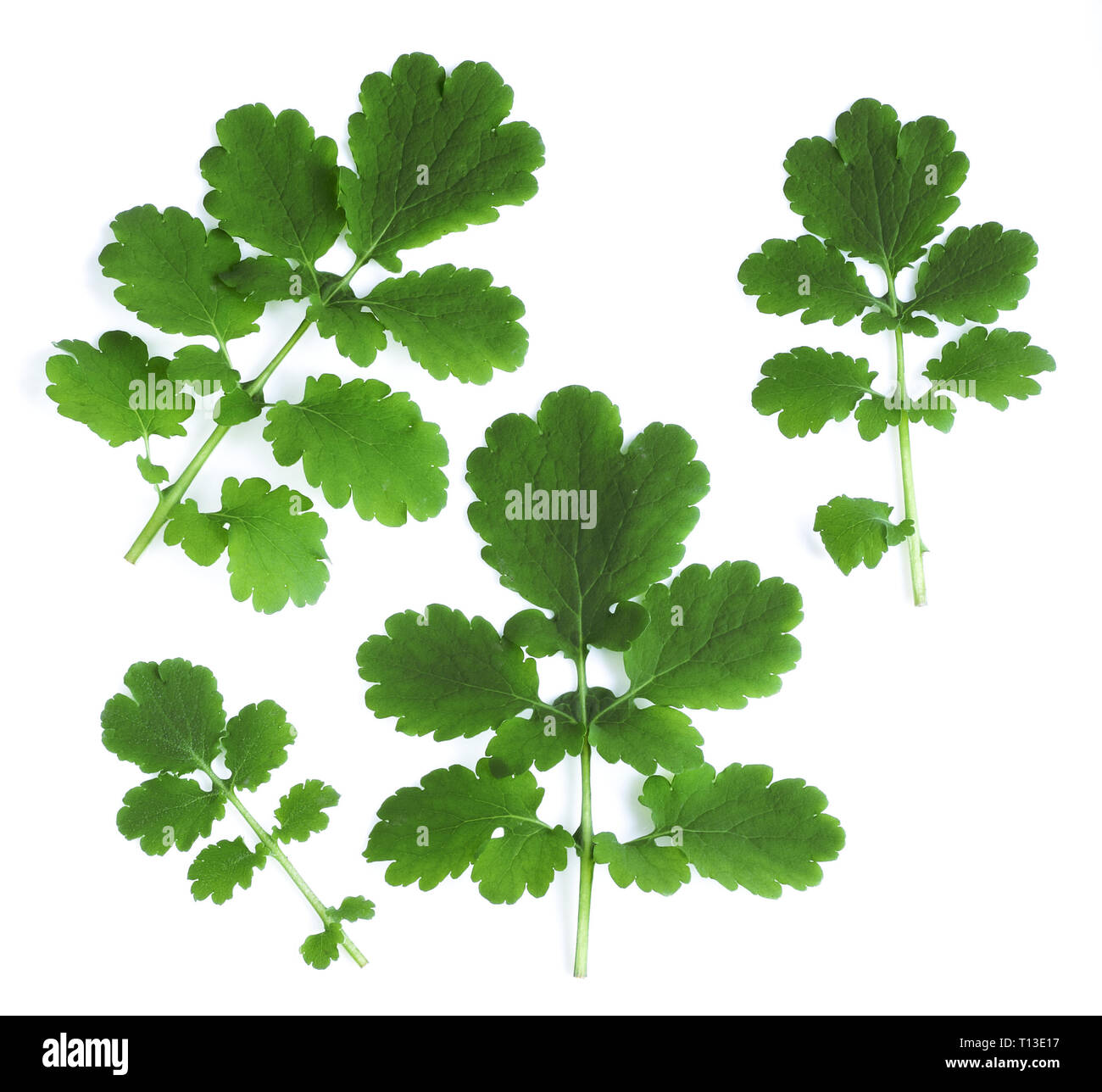 Flowering celandine, or warthog (lat. Chelidonium) Stock Photo