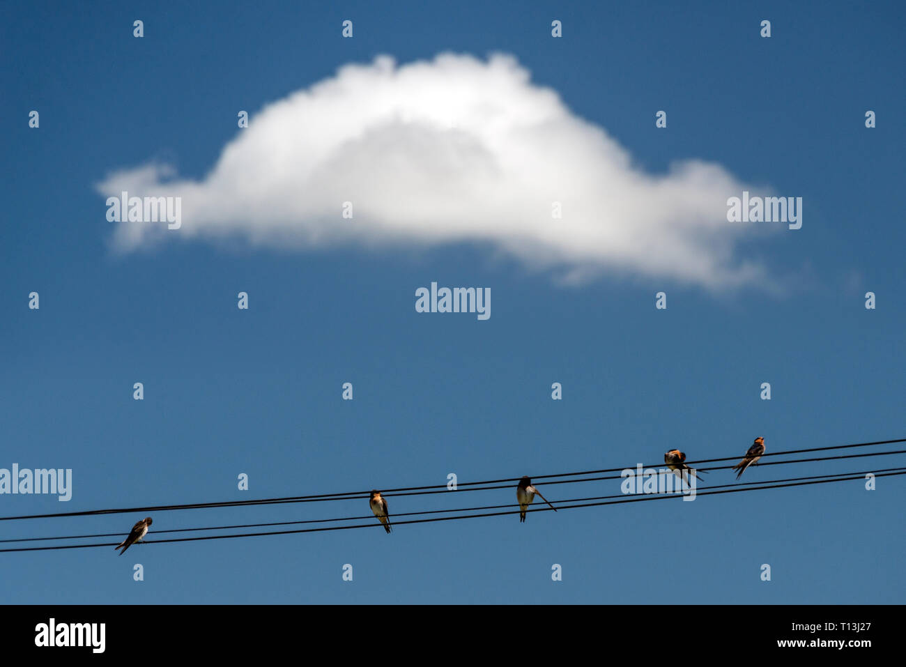 New Zealand Welcome Swallows on a powerlines, with one cloud in background. - Stock Image