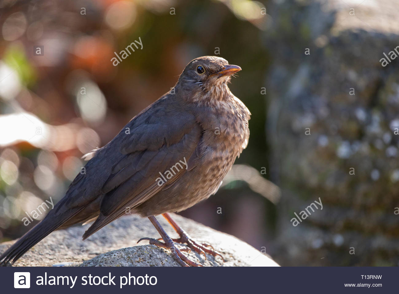 Female Blackbird - Stock Image