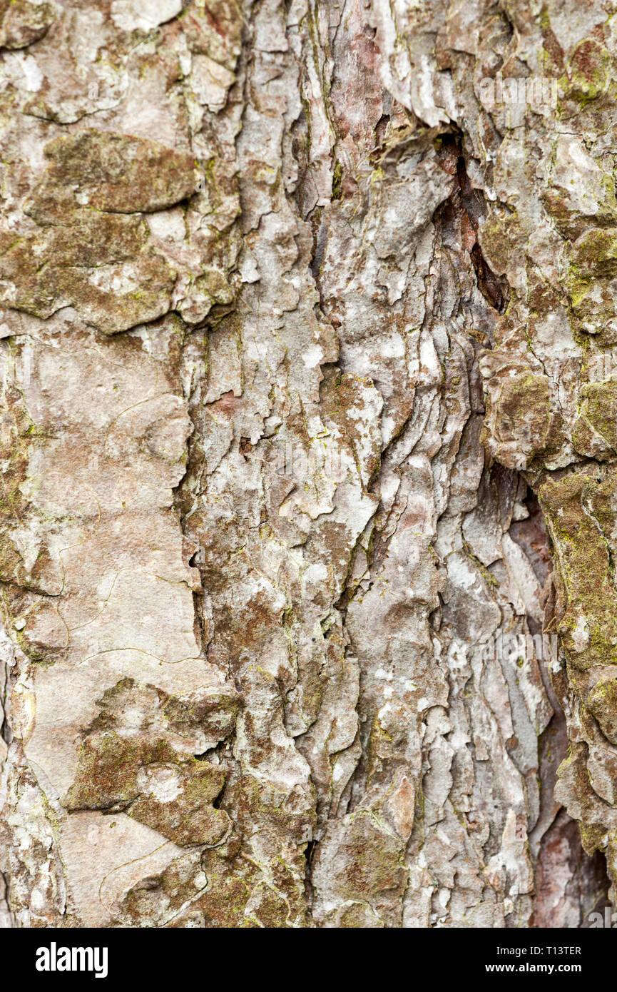 close up of pine tree bark - Stock Image