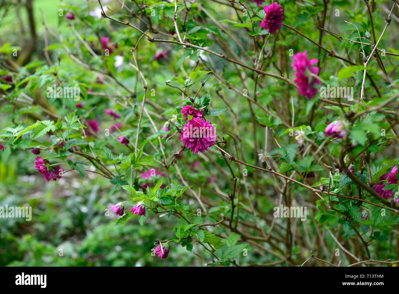 rubus spectabilis olympic double,flore pleno,salmonberry,purple-pink,flower,flowers,flowering,thicket forming,shrubs,shrub,spring,flower,flowers,flowe Stock Photo