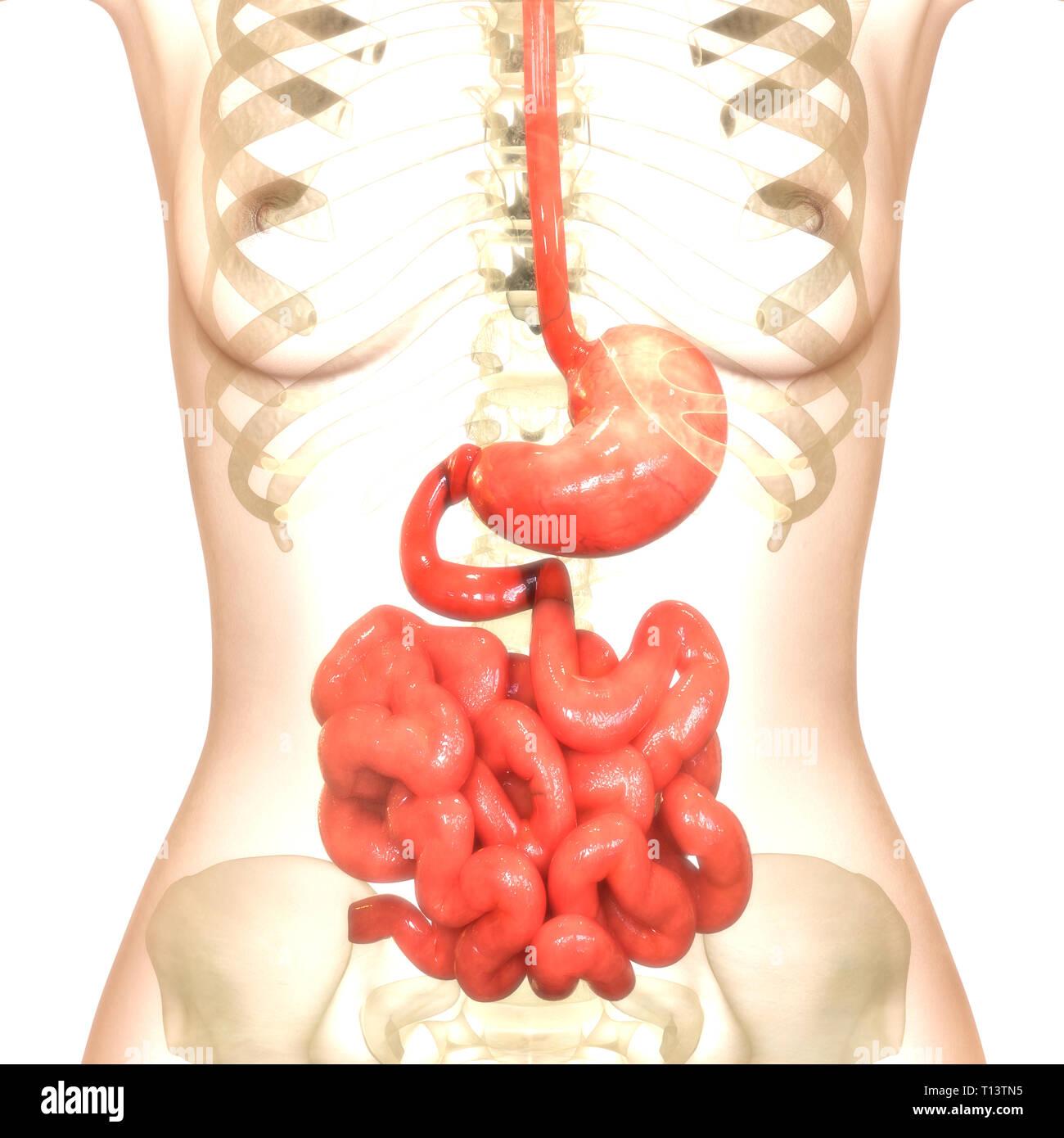 Human Digestive System Stomach with Small Intestine Anatomy Stock
