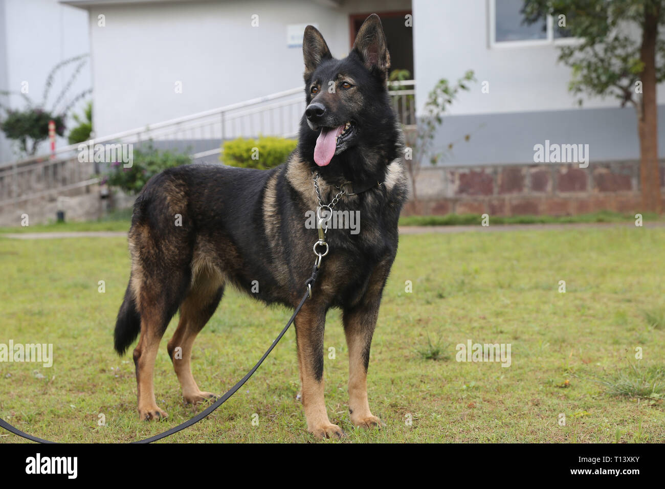 Kunming. 23rd Mar, 2019. Undated file photo shows police dog Huahuangma. Three-month-old Kunxun arrived at Kunming Police Dog Base from Beijing earlier this month to receive training. Kunxun was born in December 2018 in Beijing at a healthy condition with 540 grams in weight and 23 centimeters in length. Kunxun was cloned from a 7-year-old female police dog named Huahuangma, which is considered a great detective dog. According to a test by a institution, Kunxun's DNA is over 99.9 percent identical to that of Huahuangma. Credit: Xinhua/Alamy Live News - Stock Image