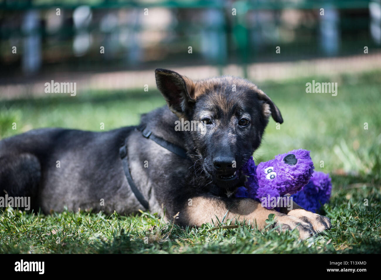 (190323) -- KUNMING, March 23, 2019 (Xinhua) -- China's first cloned police dog Kunxun plays at Kunming Police Dog Base in Kunming, southwest China's Yunnan Province, March 21, 2019. Three-month-old Kunxun arrived at Kunming Police Dog Base from Beijing earlier this month to receive training. Kunxun was born in December 2018 in Beijing at a healthy condition with 540 grams in weight and 23 centimeters in length. Kunxun was cloned from a 7-year-old female police dog named Huahuangma, which is considered a great detective dog. According to a test by a institution, Kunxun's DNA is over 99.9 perce - Stock Image