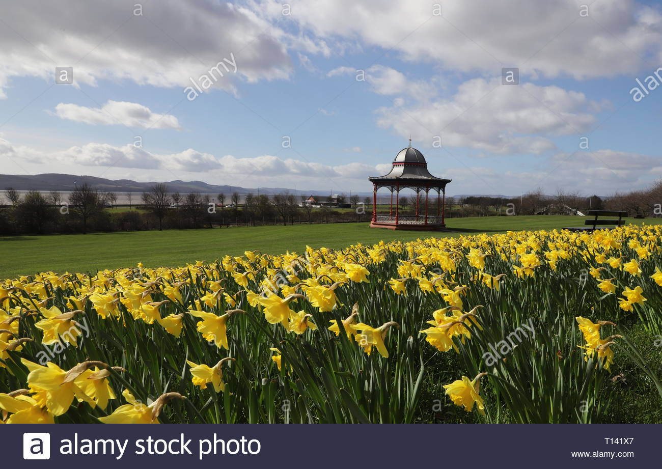 Dundee, UK. 23rd March 2019. A glorious display of yellow daffodils compliments the red bandstand on Magdalen Green on a sunny spring day in Dundee.  © Stephen Finn/Alamy Live News Stock Photo