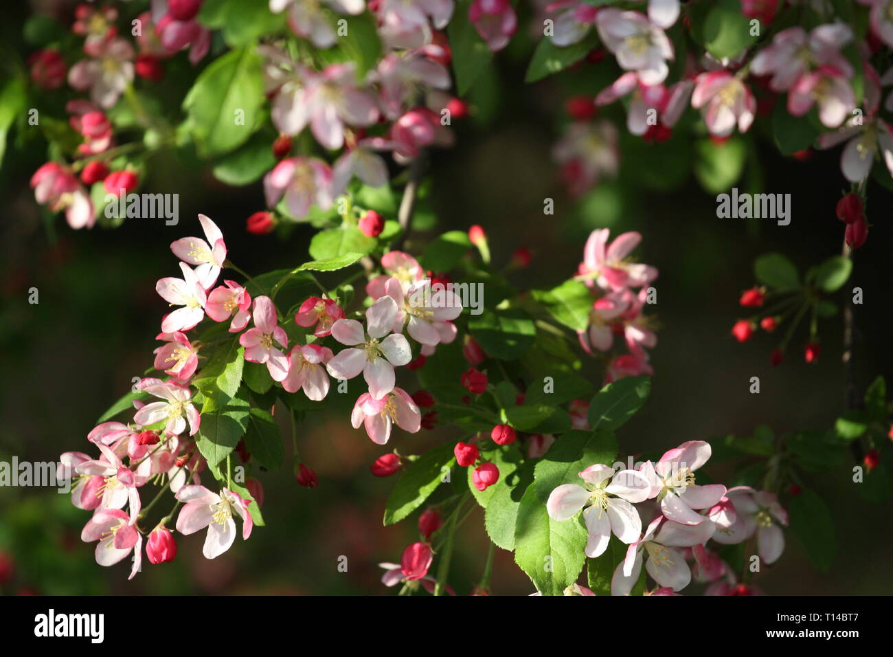 Pink cherry blossom flowers Stock Photo