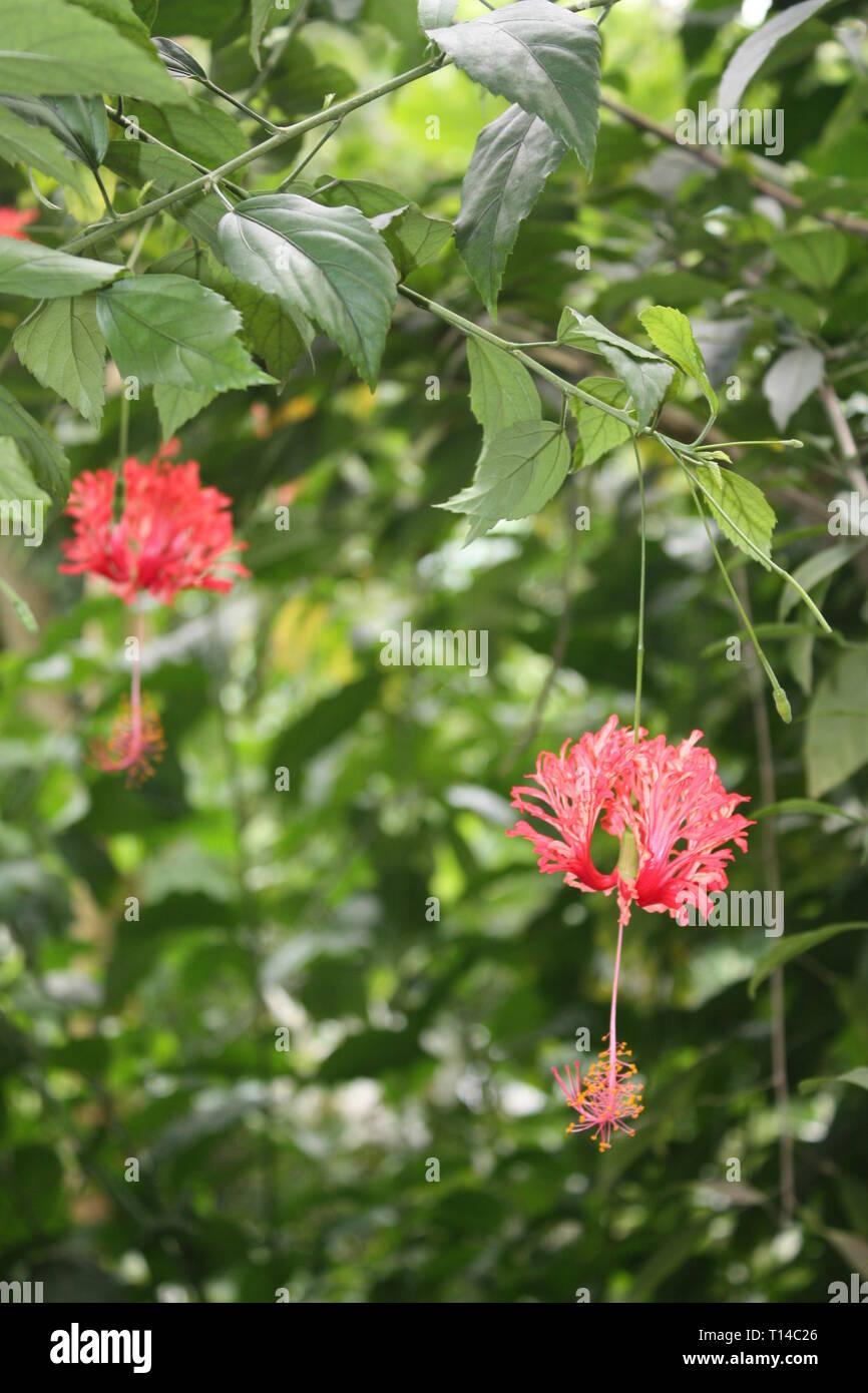 Red hibiscus flowers Stock Photo
