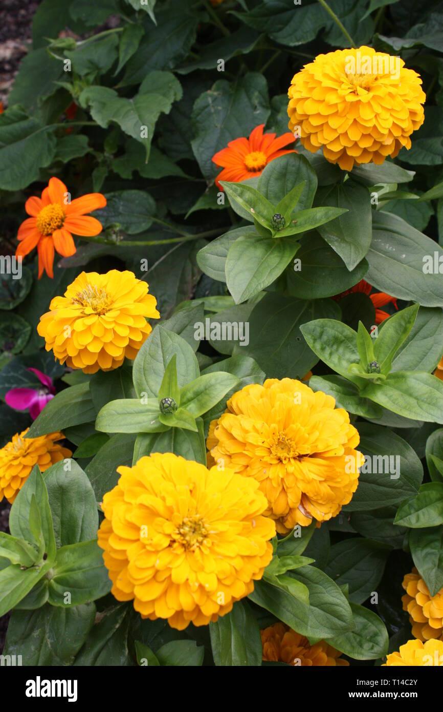Yellow zinnia flowers Stock Photo