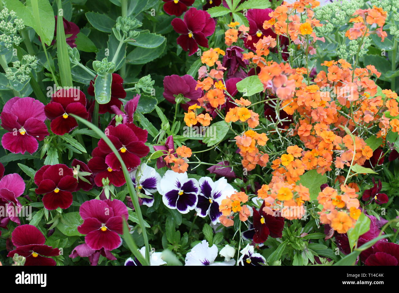Colourful pansy flowers Stock Photo