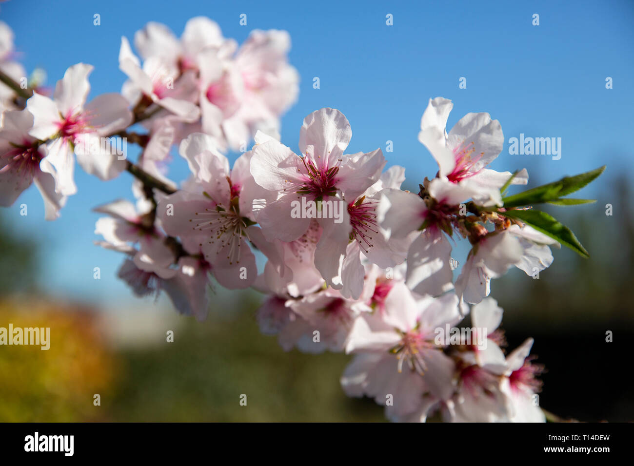 A beatutiful flowered almond tree the spring beginning in Venice Italy - Stock Image