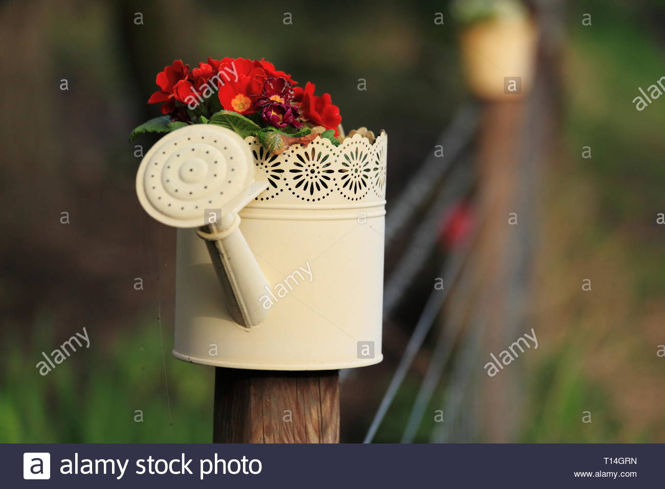 Beautiful red flowers in a small decorative watering can used as a planter on a fence post - Stock Image