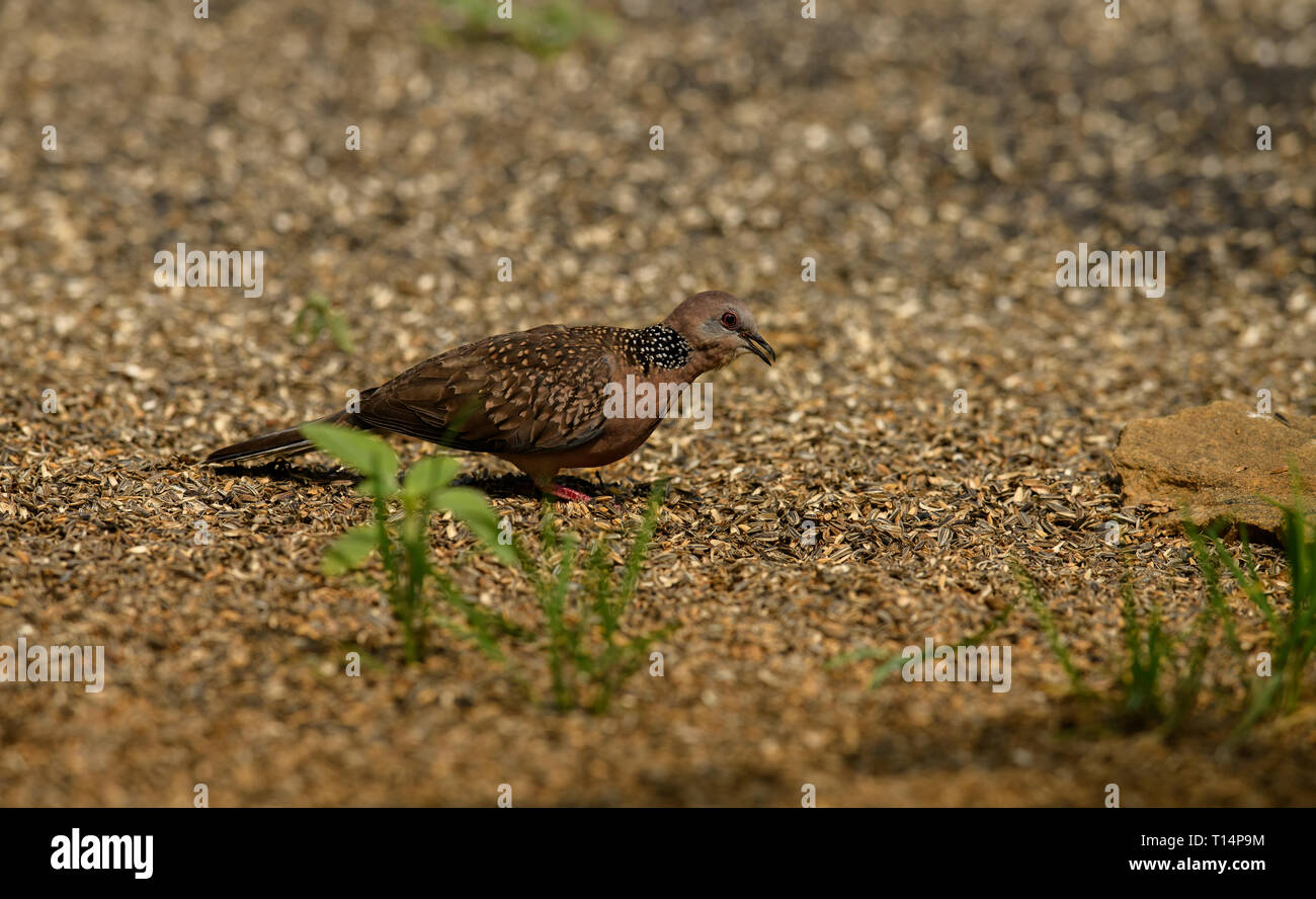 spotted dove is a small and long-tailed pigeon that is a common resident breeding bird across its native range on the Indian subcontinent - Stock Image