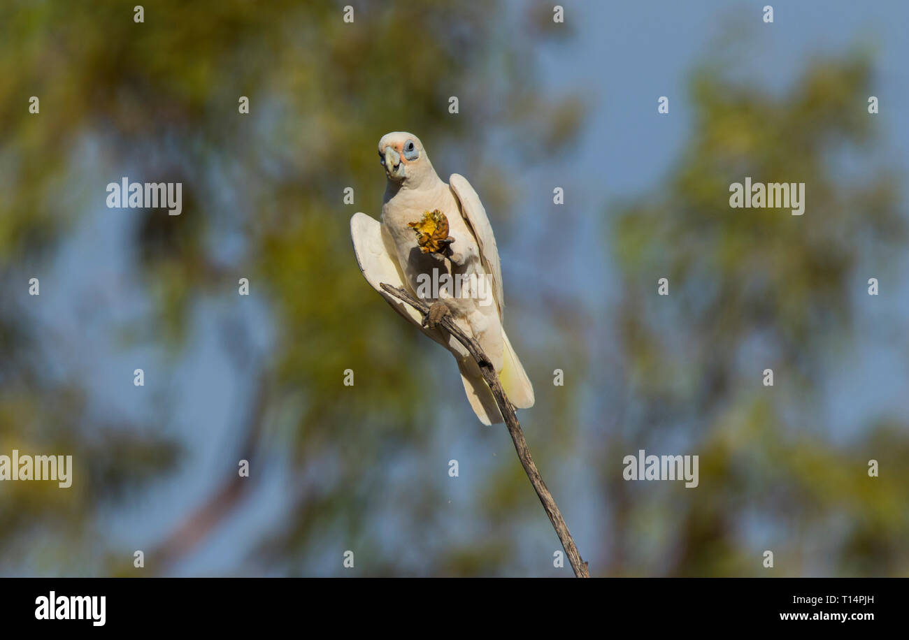 Little Corella, Cacatua sanguinea, perched in a tree feeding on a small melon while perched on a branch in outback Western Queensland Australia Stock Photo