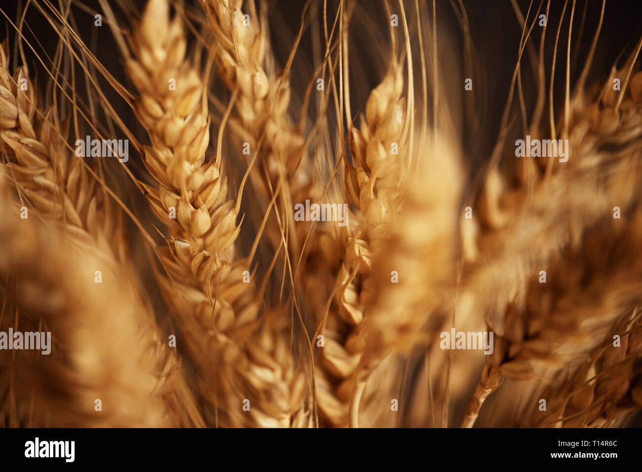 Cereals ears close-up, organic wheat, soft backround - Stock Image