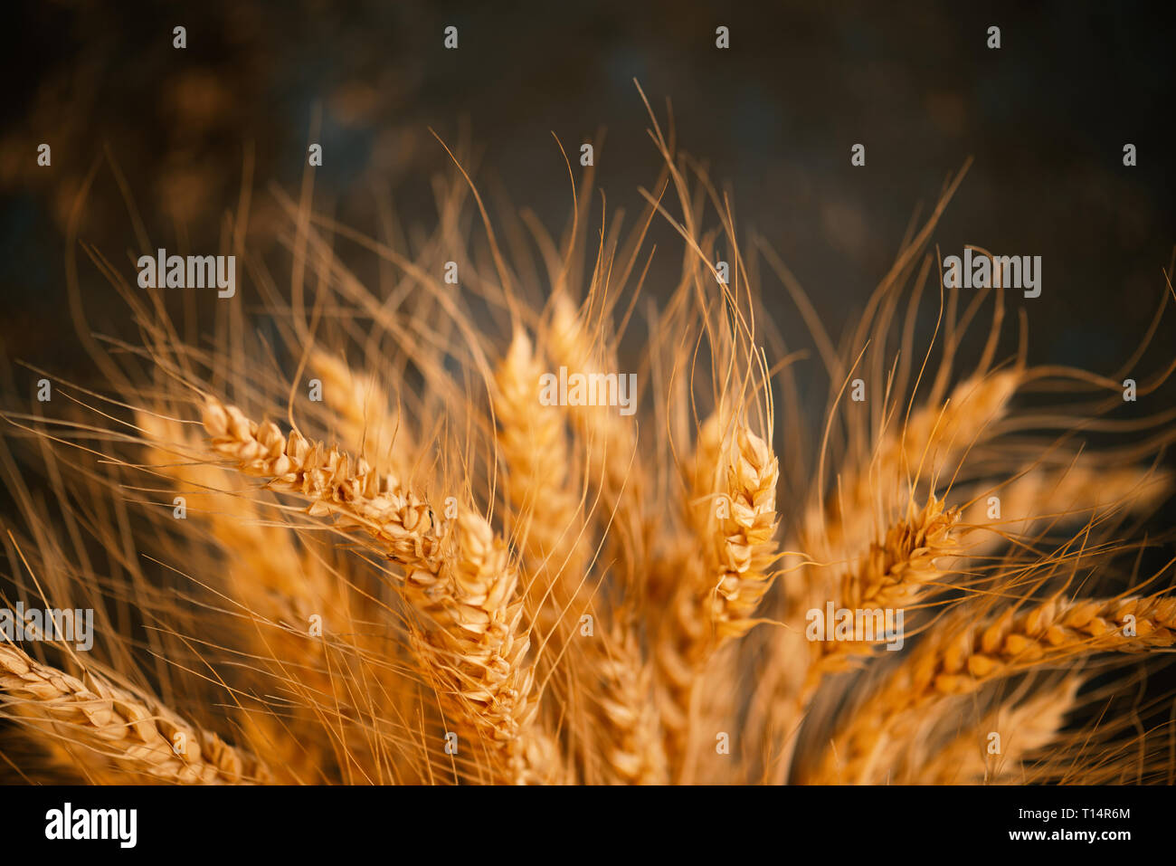 Cereals ears close-up, organic wheat, soft background - Stock Image