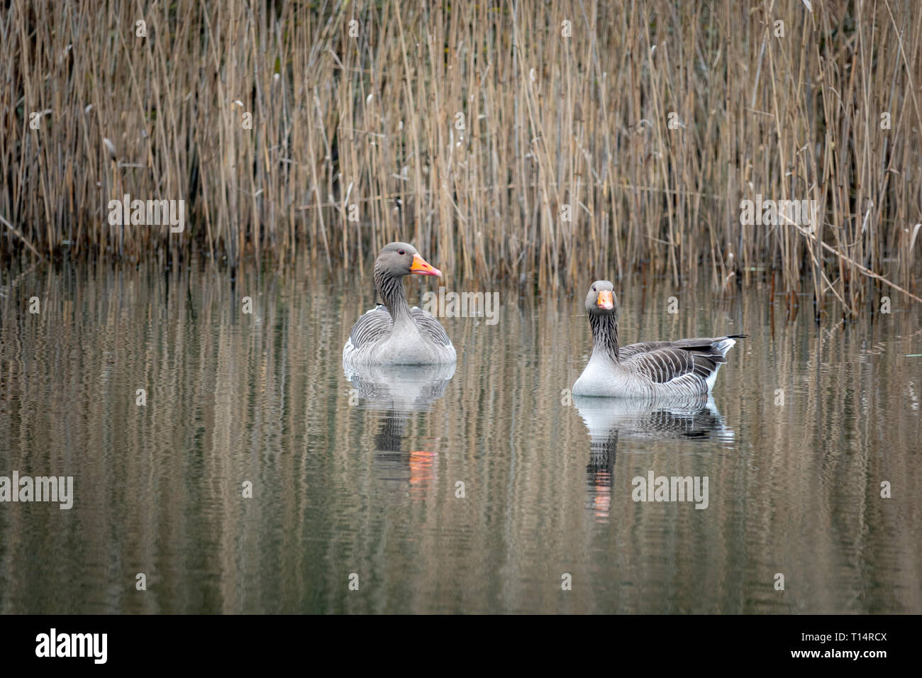 2 grey geese swimming on a lake - Stock Image