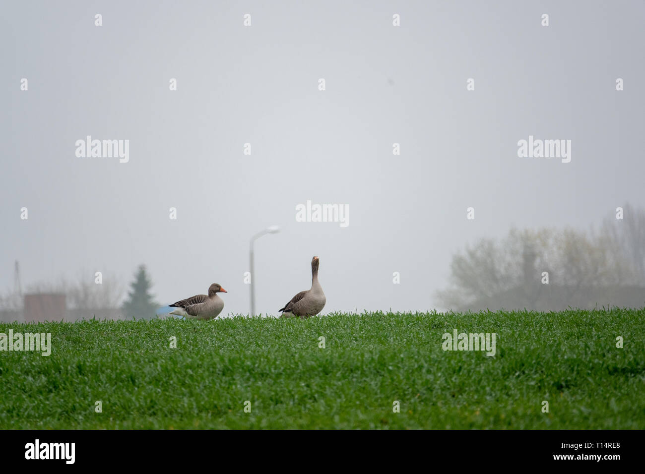 Grey geese resting on a green field - Stock Image