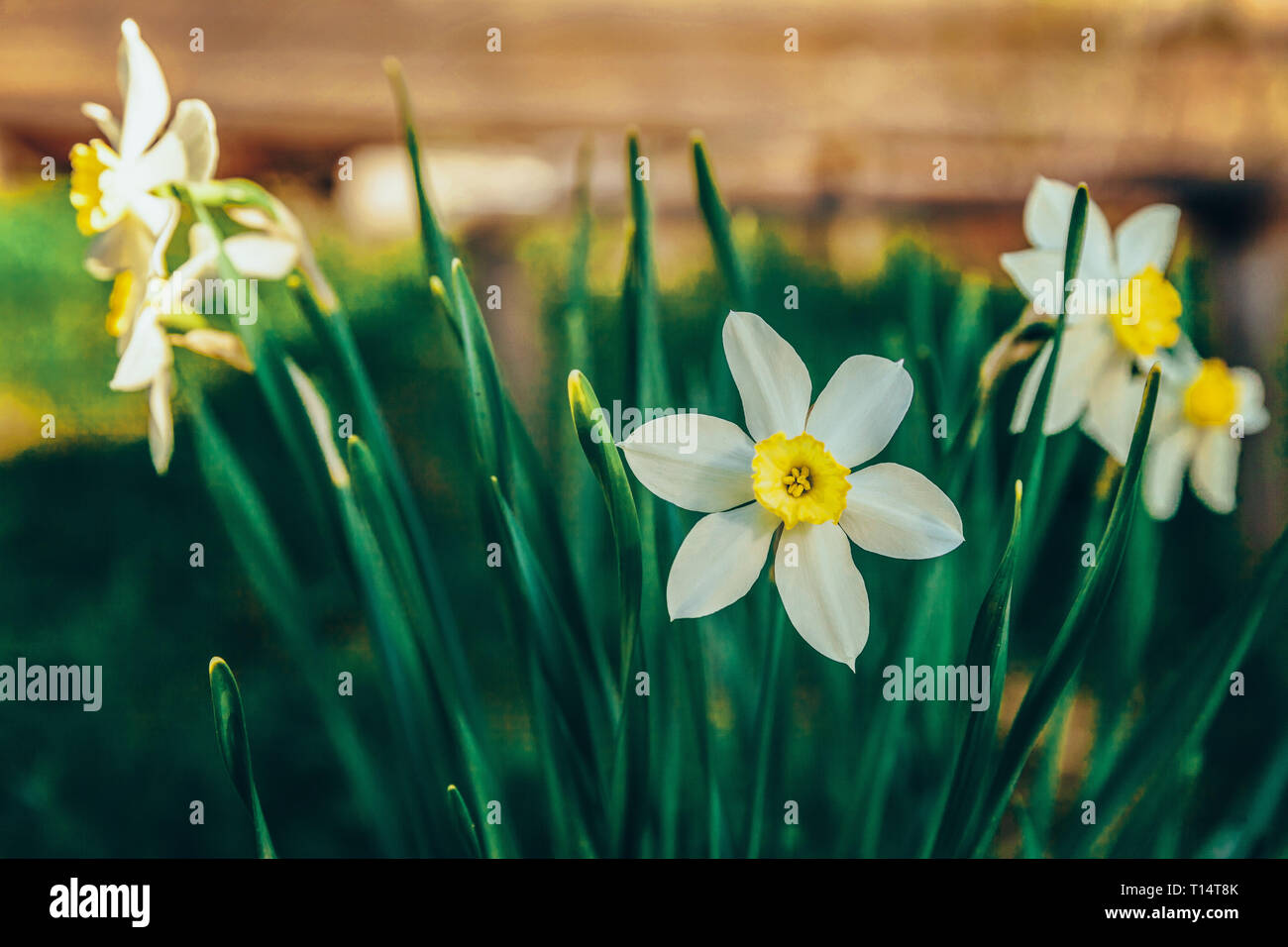 Blooming Narcissus daffodils Flower bed jonquils with blurred