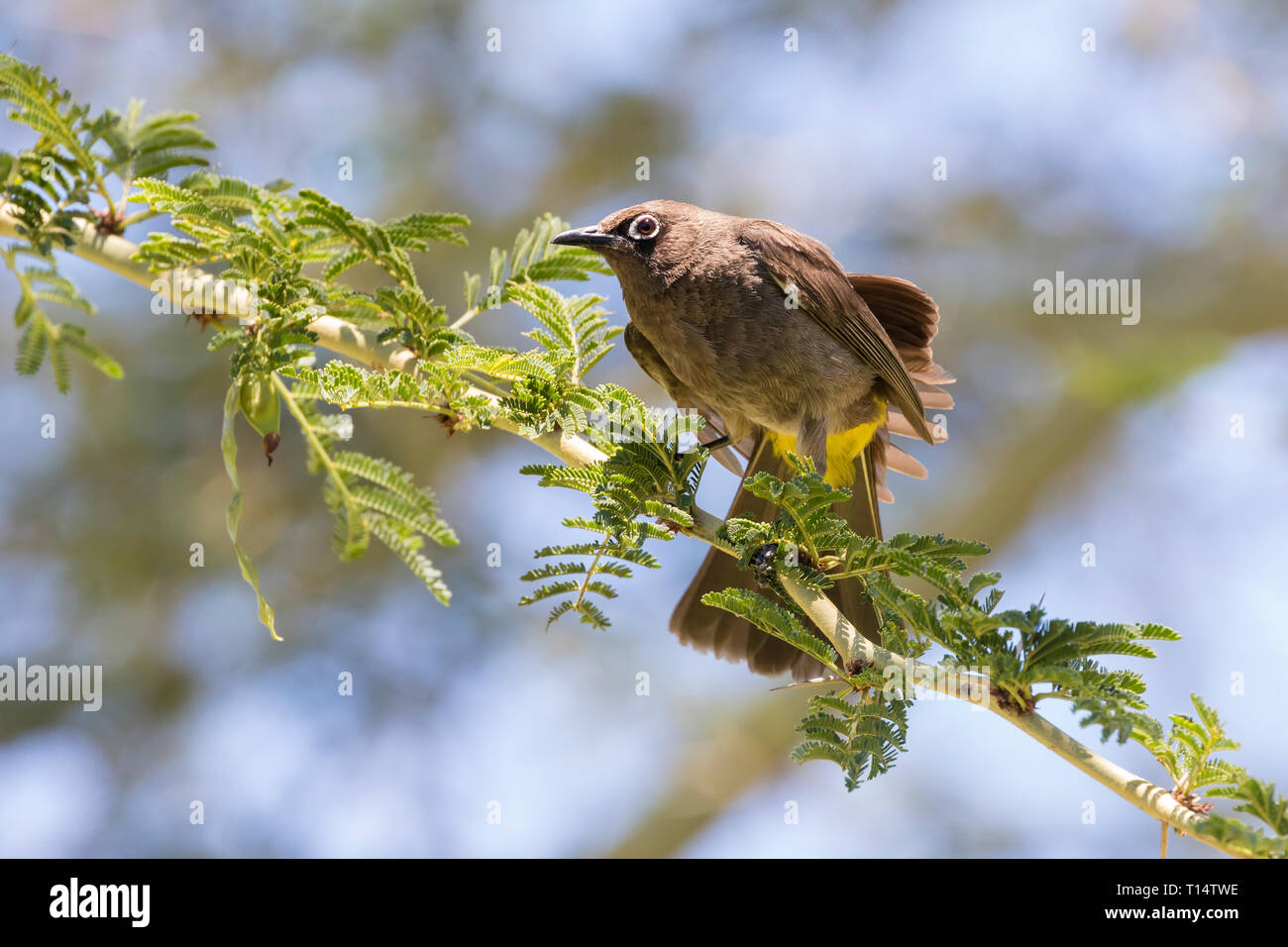 Cape Bulbul, Pycnonotus capensis, preening on Fever Tree branch (Vachellia xanthophloea), Western Cape, South Africa, in summer, endemic resident Stock Photo