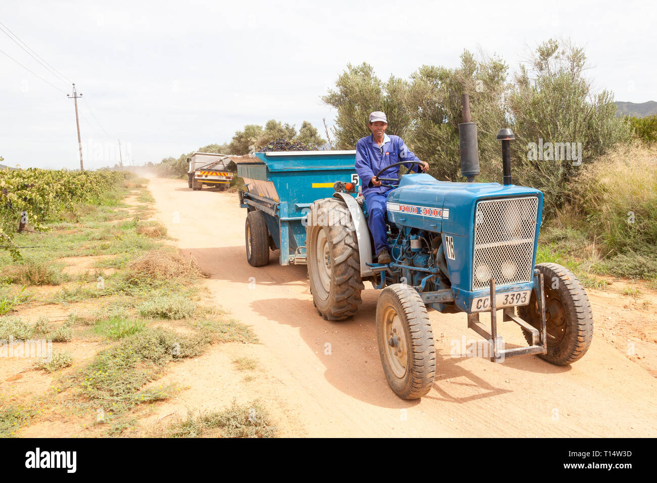 Shiraz grape harvest, Robertson, Robertson Wine Valley, Western Cape, South Africa. Coloured worker with tractor and trailer full of grapes - Stock Image