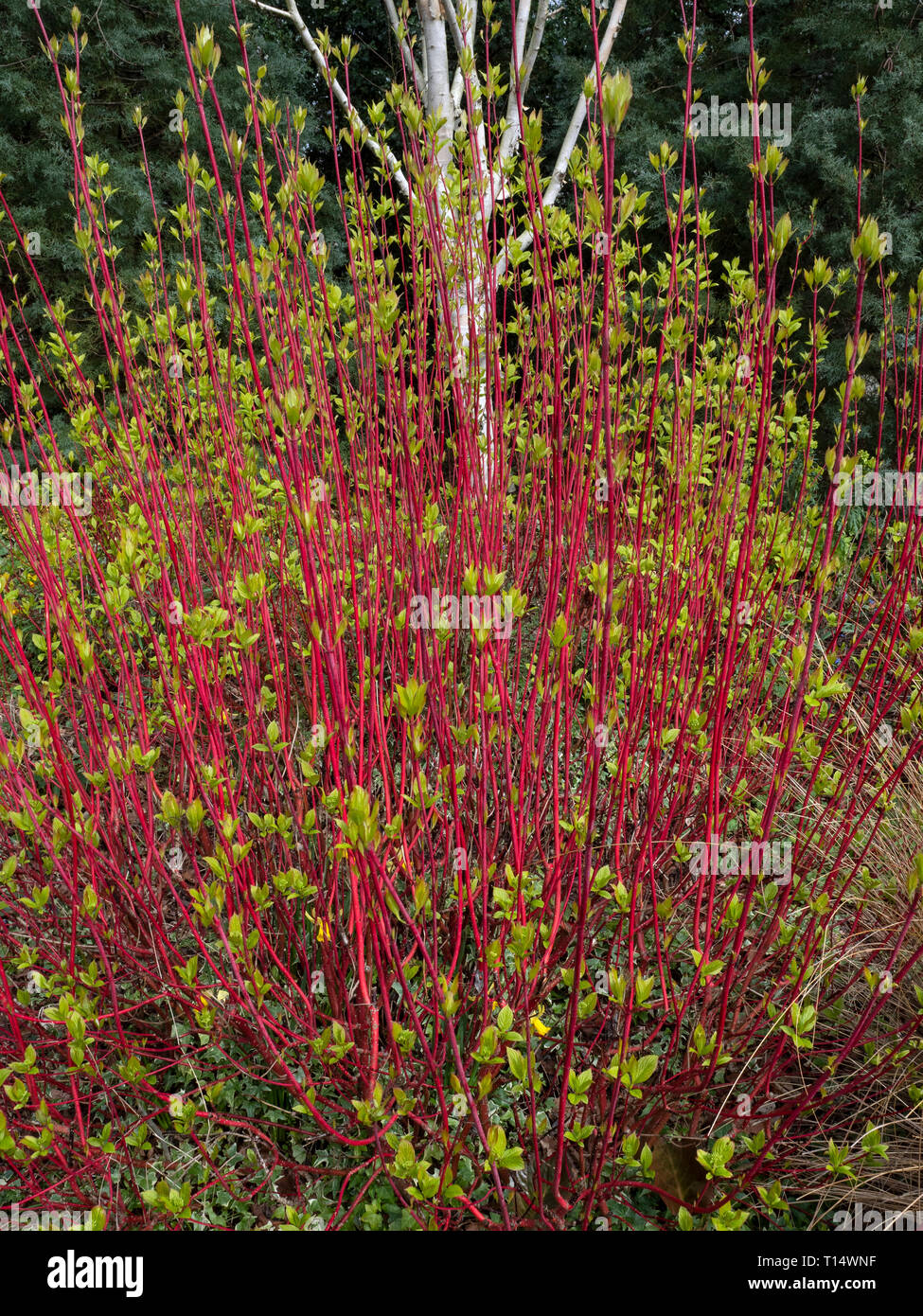 Dogwood and Himalayan birch early garden colour in Winter at Bressingham gardens Norfolk - Stock Image