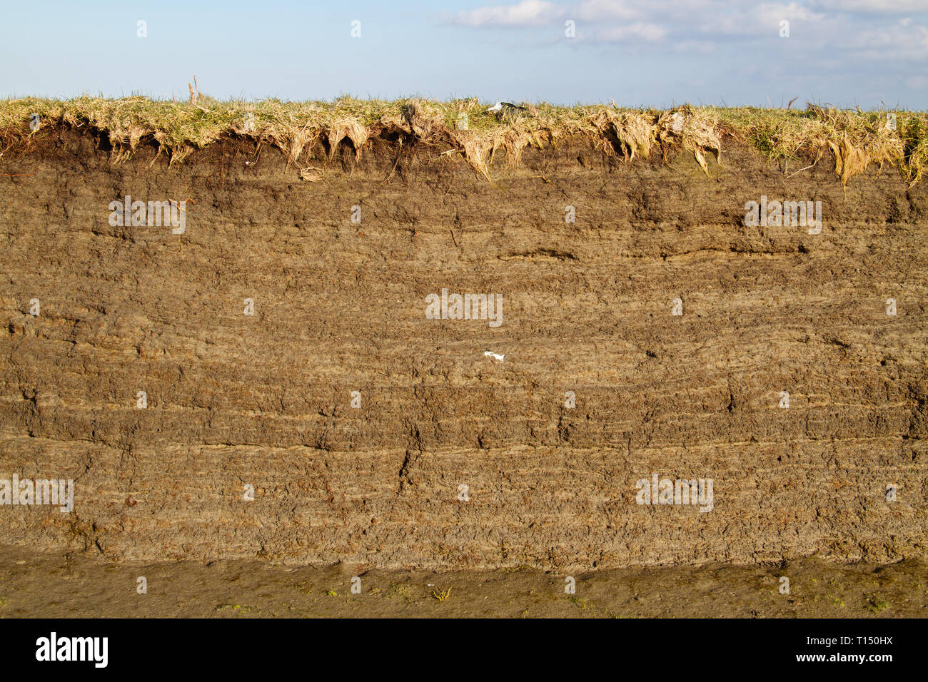 Tidal marsh soil profile in the cutbank of a creek, the result of accretion and erosion, layers of clay with small fragments of shells - Stock Image