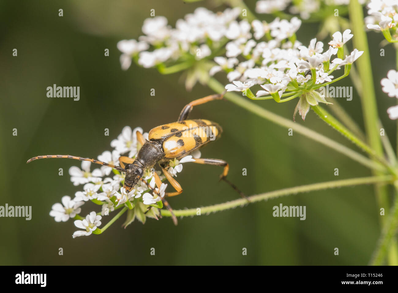 Black and Yellow Longhorn beetle. - Stock Image
