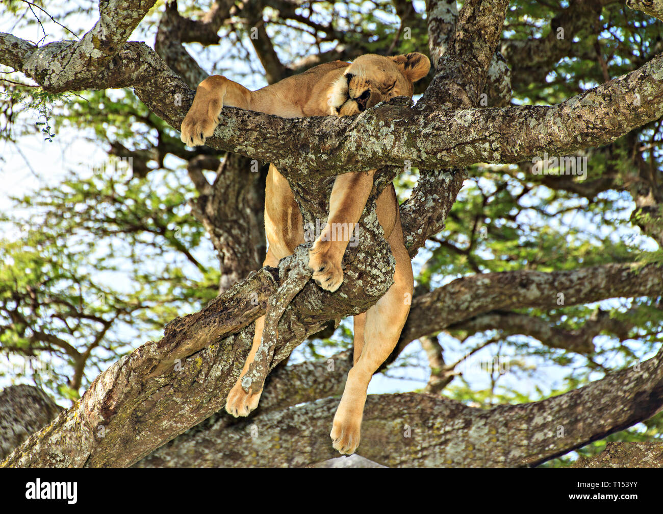 Sleeping Lion In A Tree Stock Photo