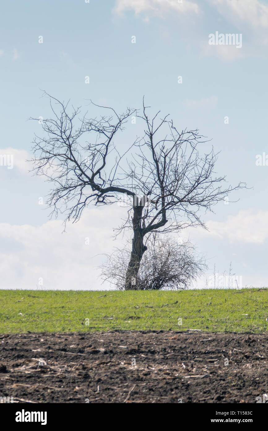Old leafless tree standing on a field - Stock Image