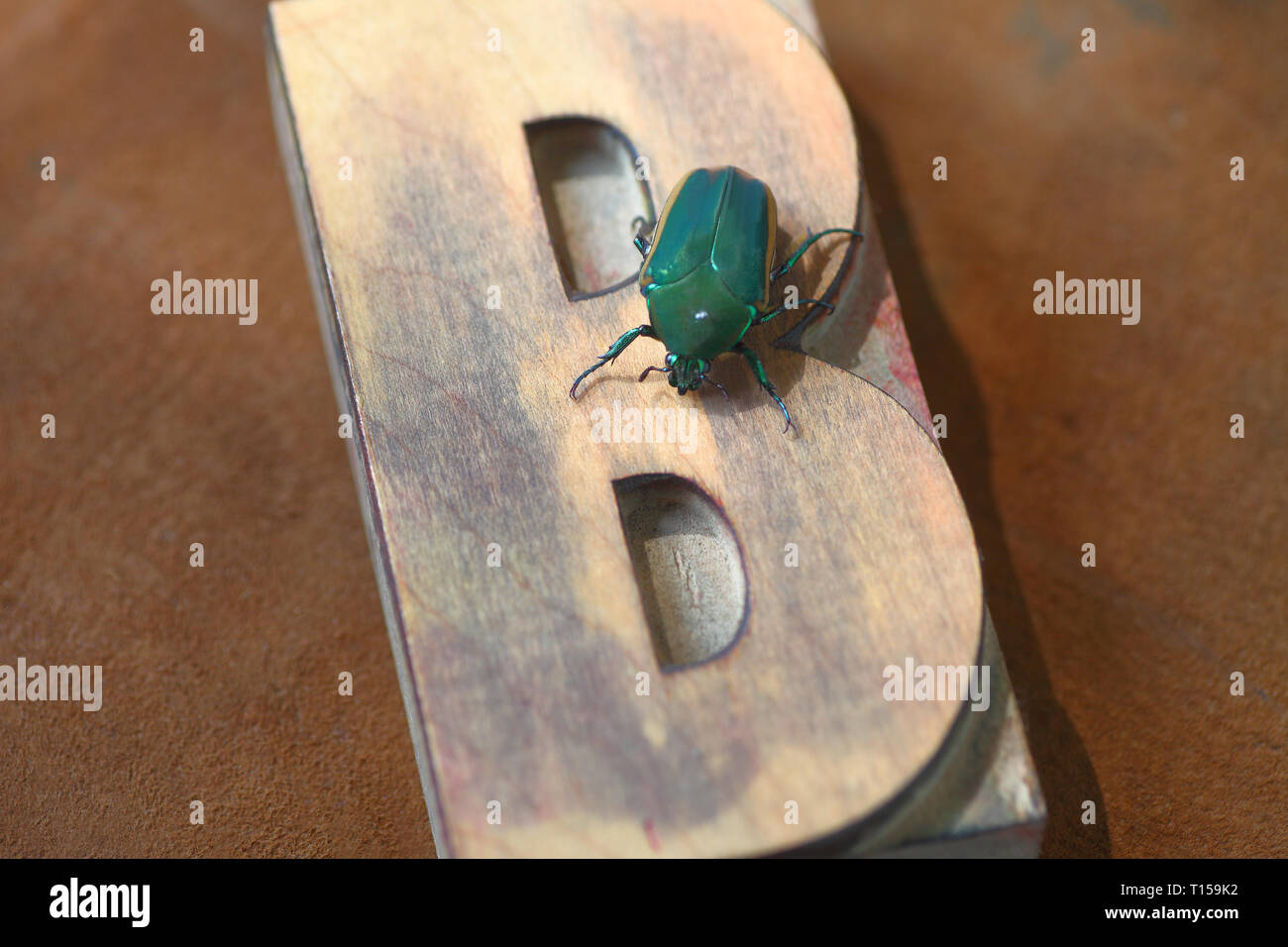 A large insect on an old wood type capital letter B - Stock Image