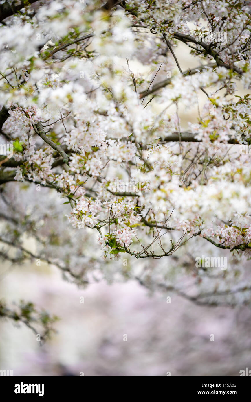 Cherry Blossoms bloom in London Stock Photo