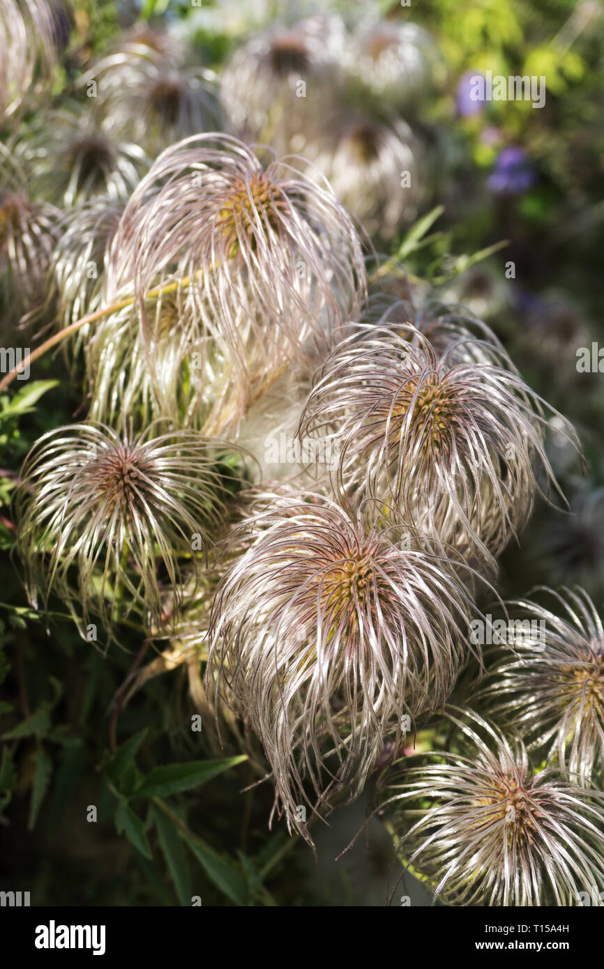 Clematis vitalba (Old man's beard, Traveller's Joy). Shrub of the Ranunculaceae family. Selective focus. Vertical image - Stock Image