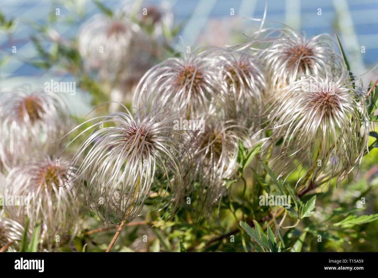Clematis vitalba (Old man's beard, Traveller's Joy). Shrub of the Ranunculaceae family. Selective focus. Horizontal image - Stock Image