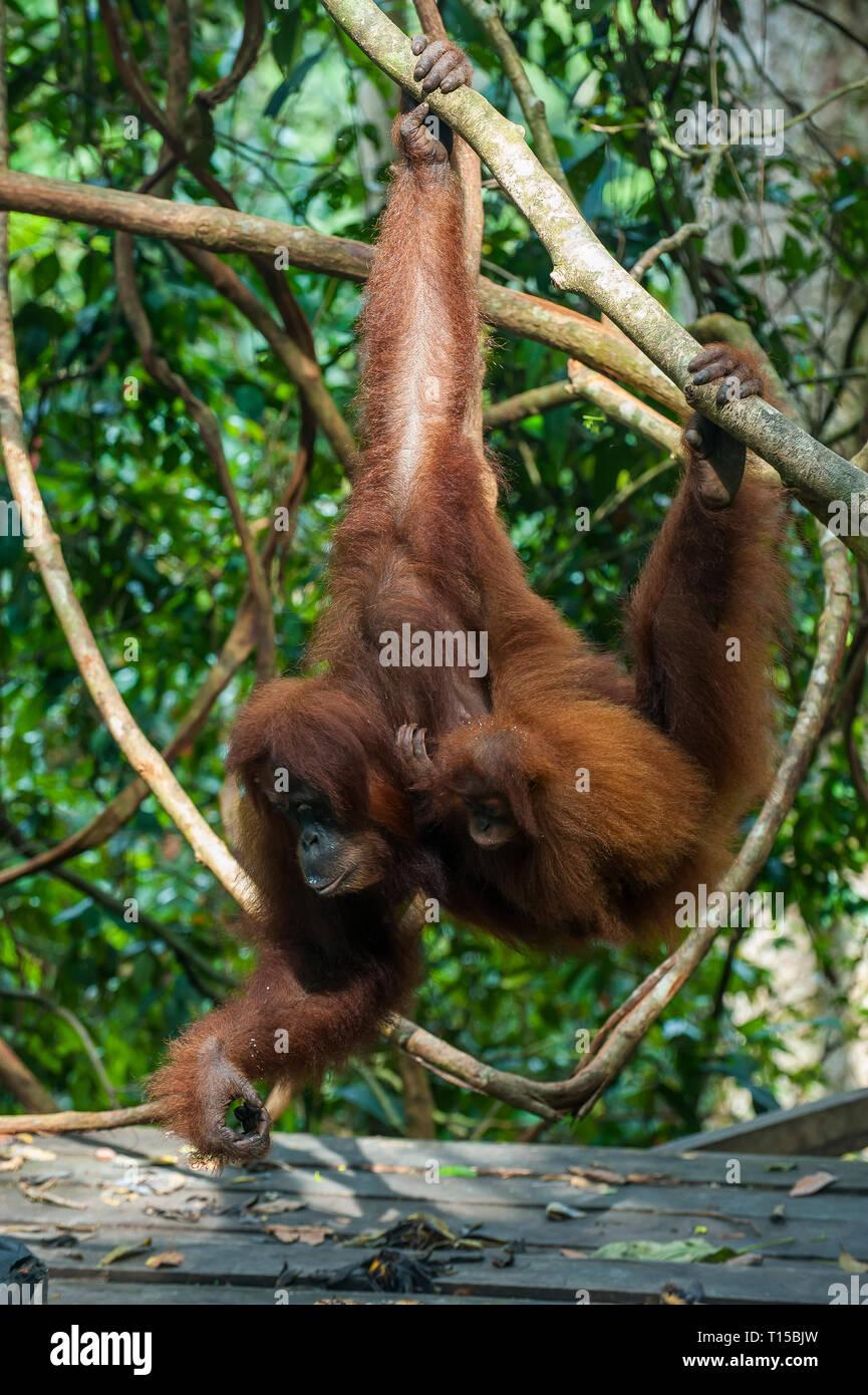 Indonesia, Sumatra, Bukit Lawang Orang Utan Rehabilitation station, feeding time for the Sumatran orangutan Stock Photo