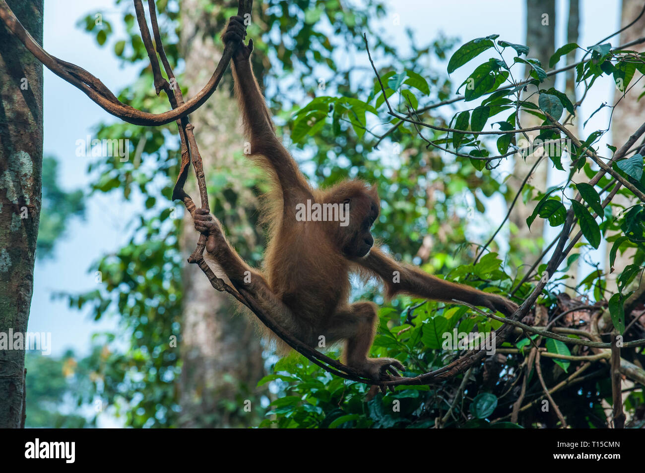 Indonesia, Sumatra, Bukit Lawang Orang Utan Rehabilitation station, Young Sumatran orangutan baby swinging through the forest Stock Photo
