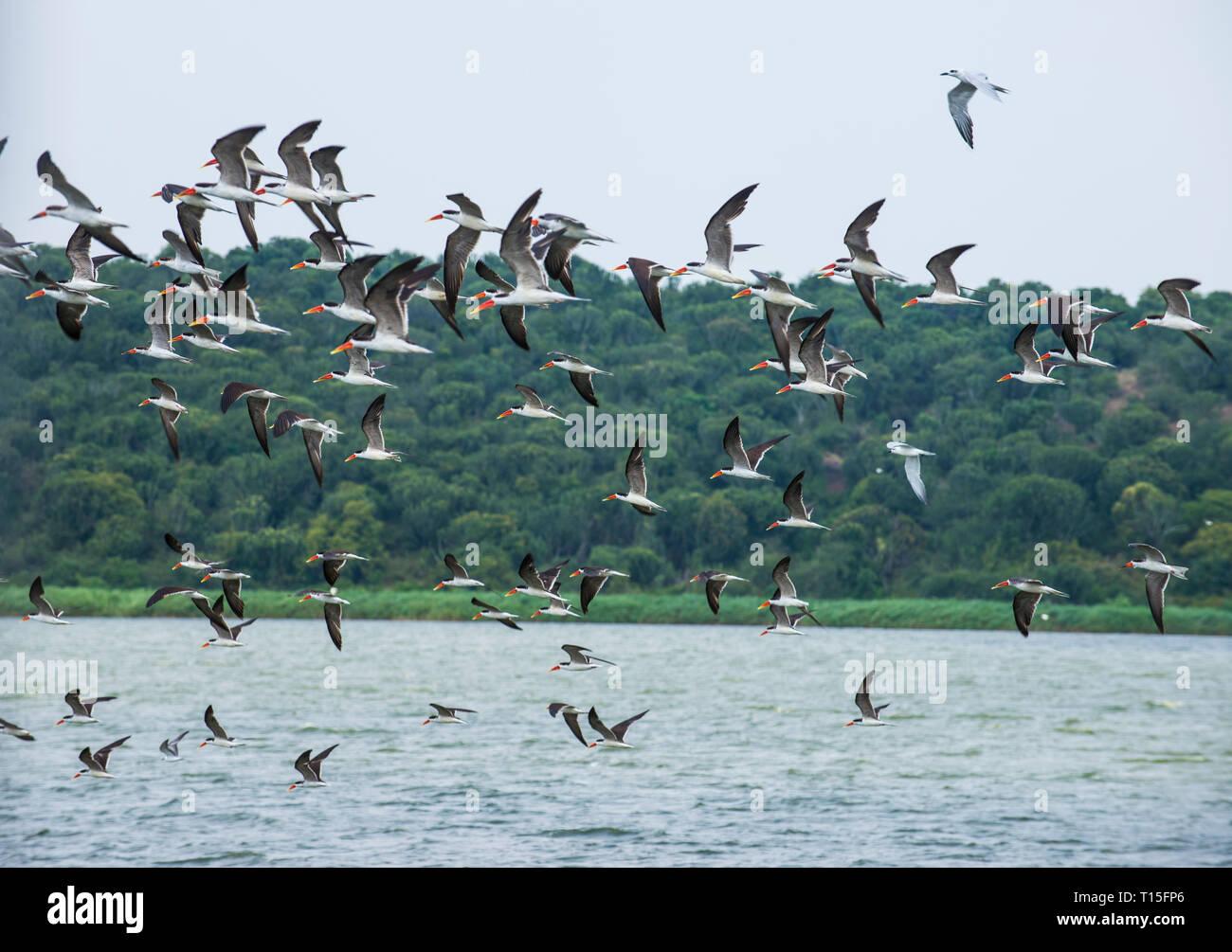 Africa, Uganda, Huge flocks of birds, Queen Elizabeth National Park - Stock Image