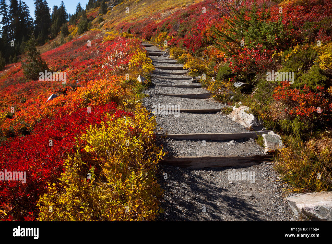 WA16016-00...WASHINGTON- Hikers walking across a hillside covered with brilliant fall color on the Skyline Trail in Mount Rainier National Park. Stock Photo