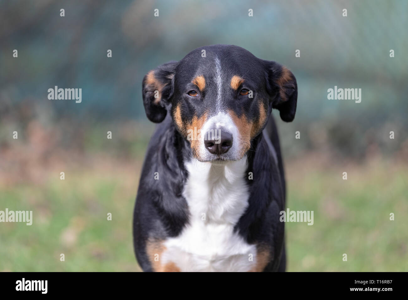 Appenzeller Sennenhund The Dog Is Standing In The Park On