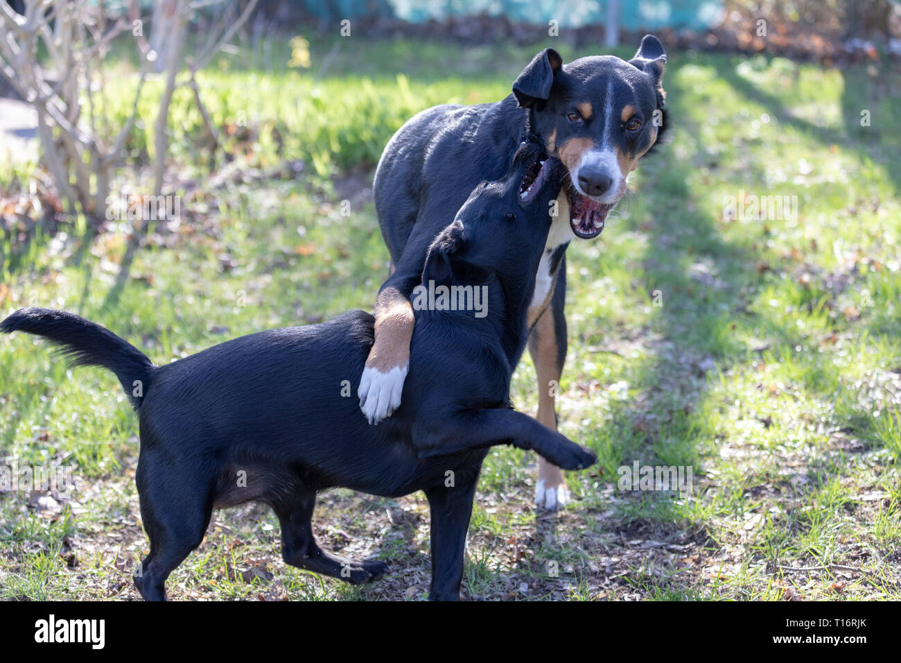 Appenzeller Mountain Dog Plays With A Labrador Mix Puppy