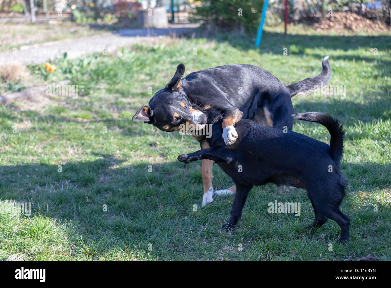 Appenzeller Mountain dog plays with a Labrador mix puppy outdoors - Stock Image