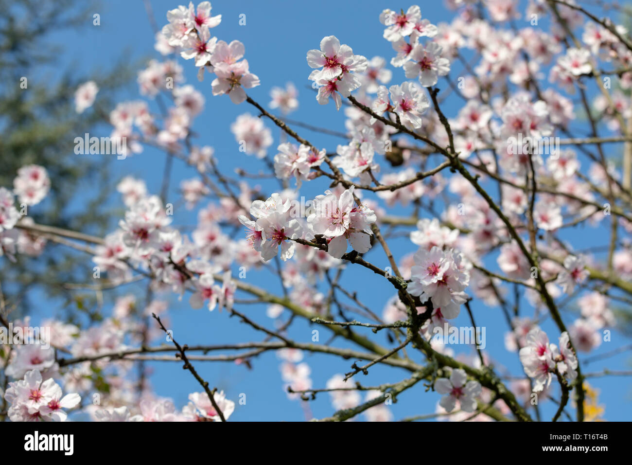 Beautiful White And Pink Japanese Cherry Blossom Trees In Full