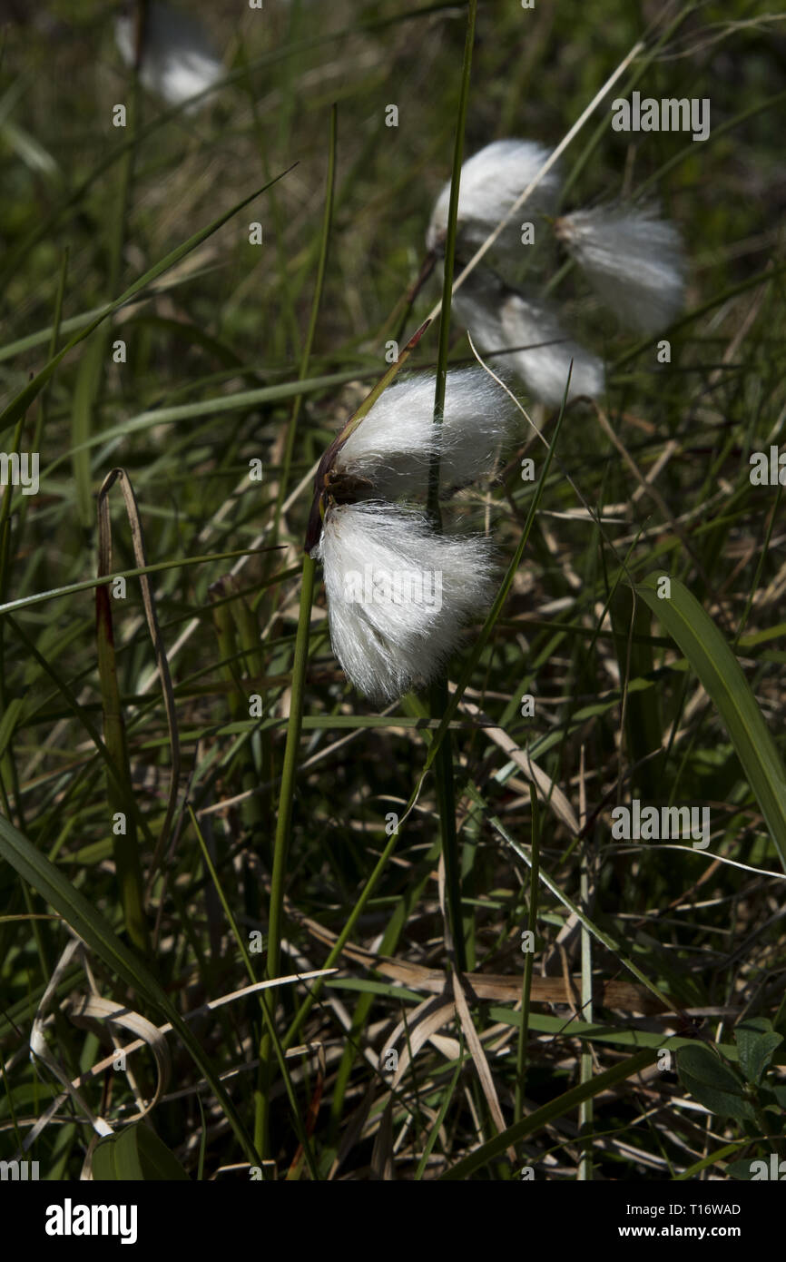 Common cottongrass is a widely distributed European sedge here flowering at Skarsvåg peninsula in Norwegian Finnmark. - Stock Image