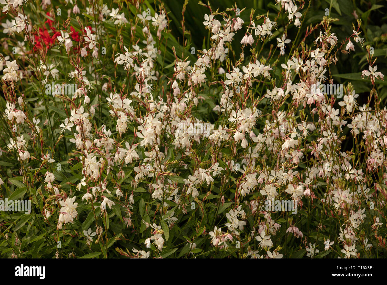 White flowers of the long flowering plants Gaura Whirling Butterflies, which are easy to grow in our gardens. Stock Photo