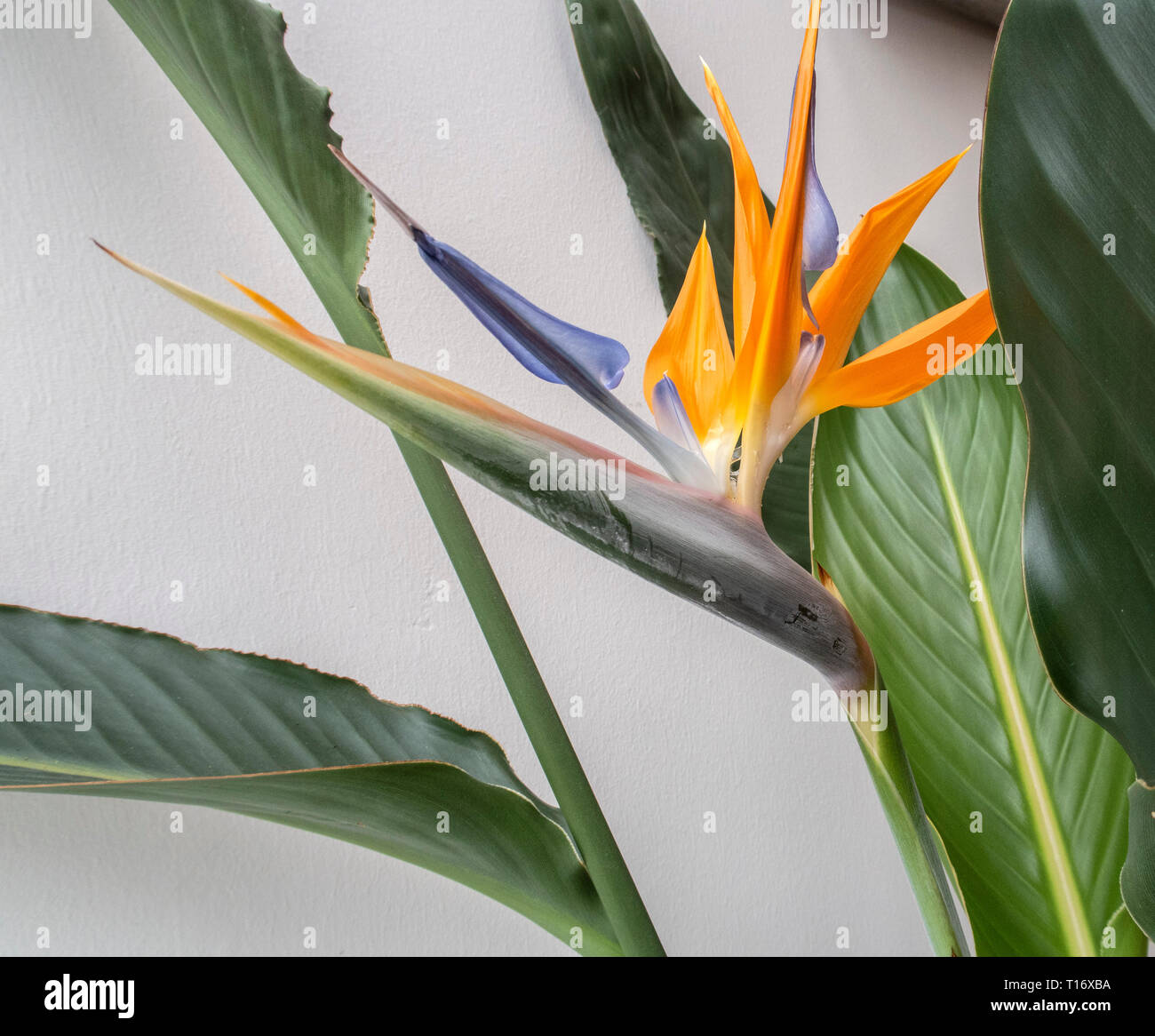 Strelitzia indoor plant in flower - bird of paradise flower. Stock Photo